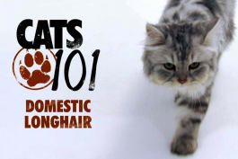 Cats 101 - Domestic Longhair