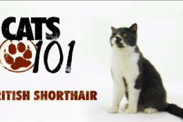 Cats 101 - British Shorthair