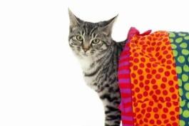 Cats 101 - American Bobtail