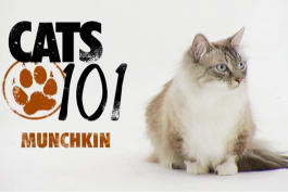 Cats 101 - Munchkin