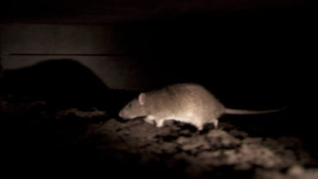 Rats Chew Through Concrete Walls into a Woman's Home