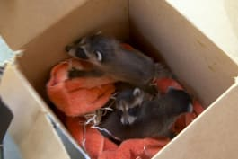 North Woods Law - Three Baby Raccoons Rescued, Sent to Rehabilitation Service