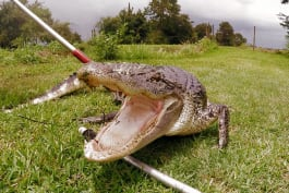 Lone Star Law - When an Alligator Doesn't Fear Humans