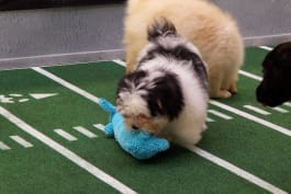 Puppy Bowl - Inside The Bowl: Sibling Rivalry