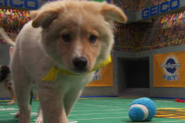 Puppy Bowl - Blitz: The Floridian Flash