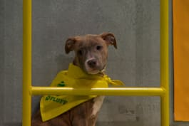 Puppy Bowl - Precious: The Big Dog from the Big Apple