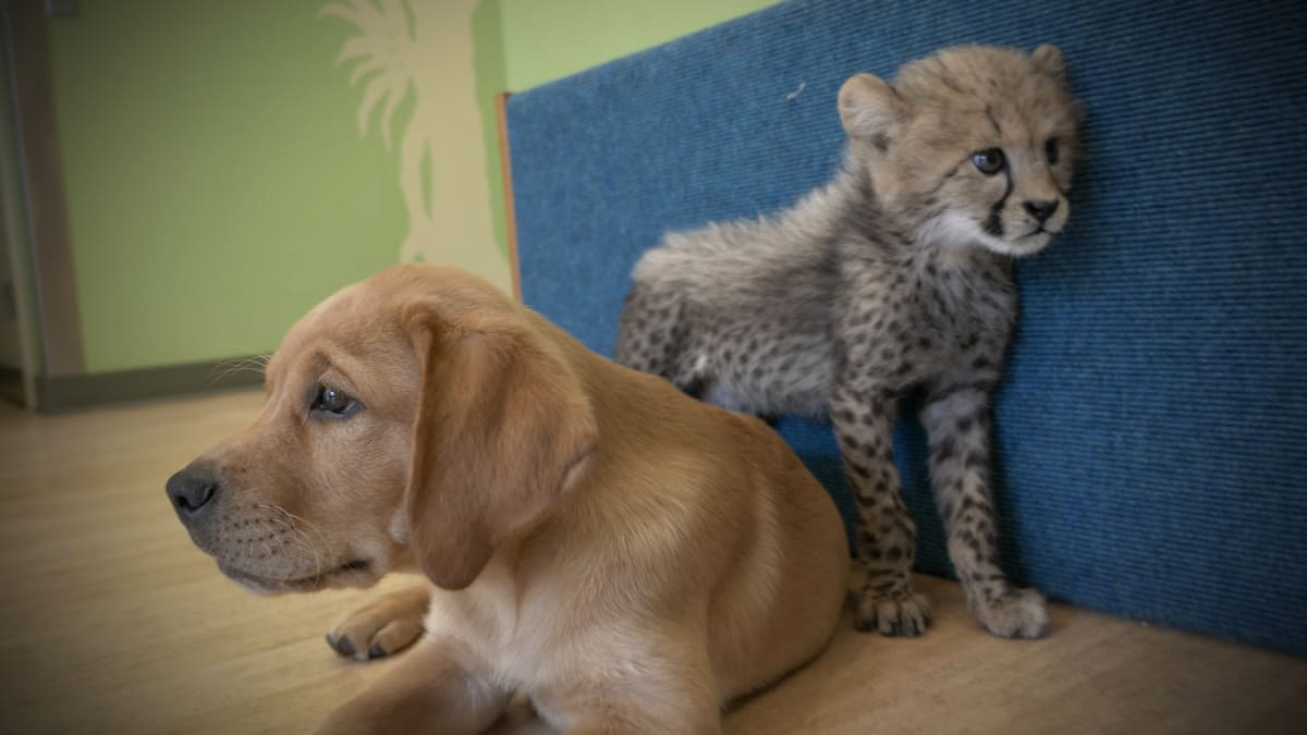 Cheetah and Pups Become Best Friends - The Zoo | Animal Planet