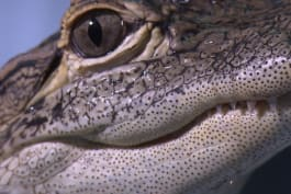 North Woods Law - New Hampshire - Alligator Showdown