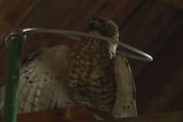 North Woods Law - Hawk Found Trapped In Garage