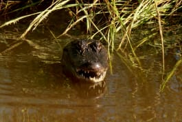 Lone Star Law - Aggressive Mother Alligator