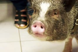 The Vet Life - Hog Wild and Home Free
