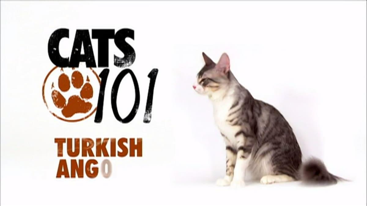 Turkish Angora Cats 101 Animal Planet