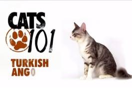 Cats 101 - Turkish Angora
