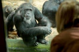 Raised Human - Boris the Chimp