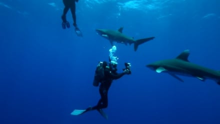 Shark Week - Surrounded by Oceanic Whitetips