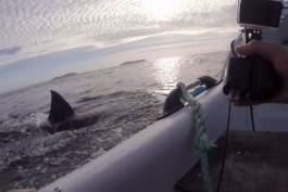 Shark Week - Great Whites Try to Tip Boat