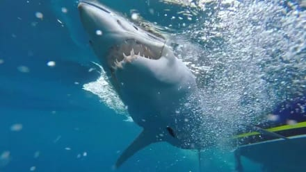 Shark Week - Mako Sharks Launch Like Rockets