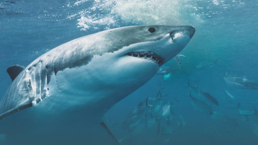 Shark Week - Sharktacular 2017