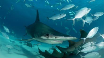 Shark Week - Great Hammerhead Invasion
