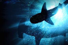 Shark Week - African Shark Safari