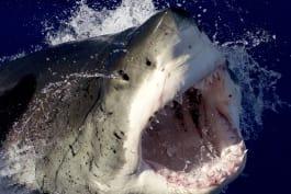 Shark Week - Great White Serial Killer Lives