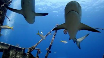 Shark Week - Sharkopedia Countdowns