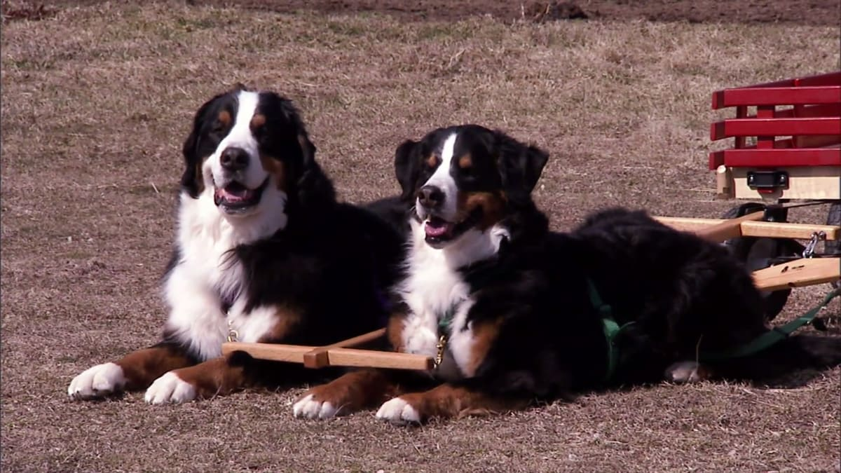 Bernese Mountain Dog, Afghan, Portuguese Water Dog, Cairn