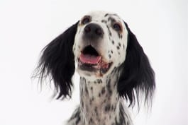 Dogs 101 - Miniature Bull Terrier, Dingo, English Setter, Borzoi, Wonder Dog, Keeshond