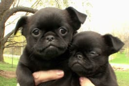 Dogs 101 - Bluetick Coonhound, Brussels Griffon, Swedish Lapphound, Petit Basset Griff