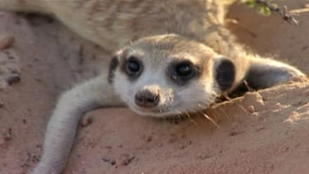 Meerkat Manor - Some Like It Hot