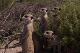 Meerkat Manor - To The Manor Born