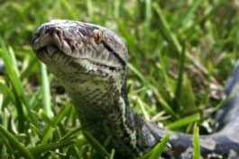 Man-Eating Python - Man-Eating Python