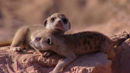 Meerkat Manor - The Good, the Bad, and the Desperate