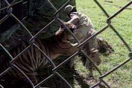 Untamed and Uncut - Tiger Attacks Zookeeper