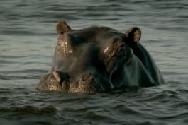 Fatal Attractions - Killer Hippo