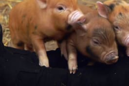 The Secret World of Posh Pets - The Piggy Bank