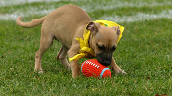 About The Show - Puppy Bowl   Animal Planet