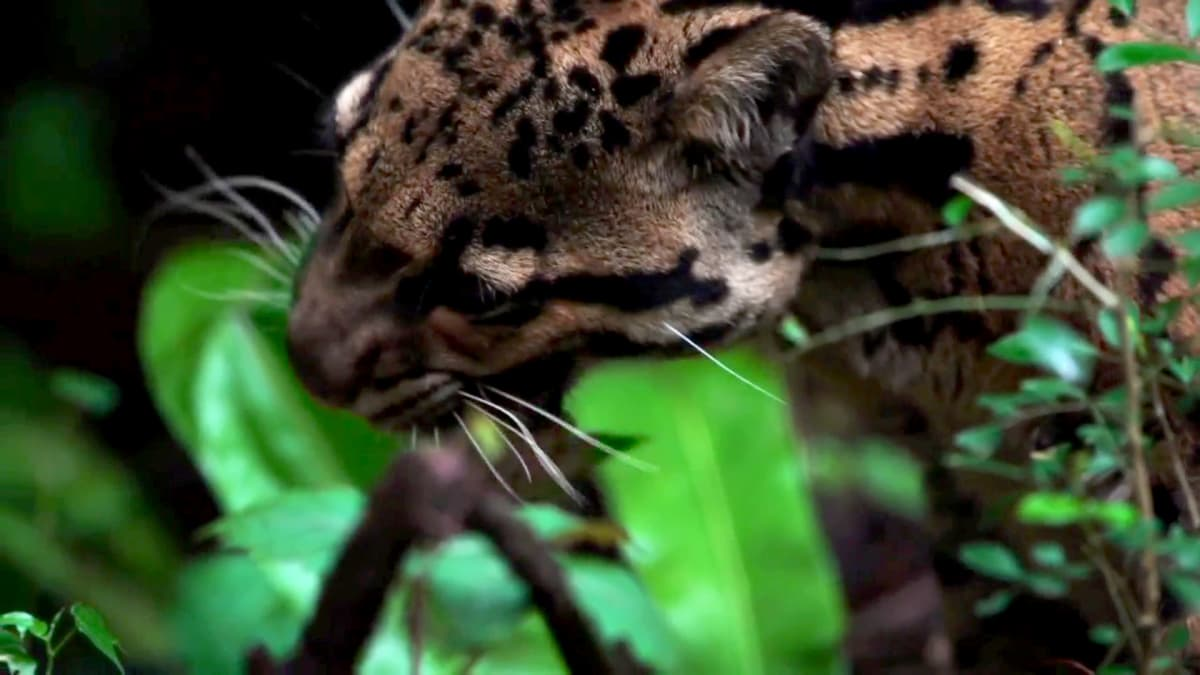 Formosan Clouded Leopard | Extinct or Alive