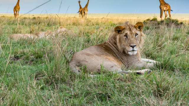 Big Cat Tales: More from the Mara Region on FREECABLE TV