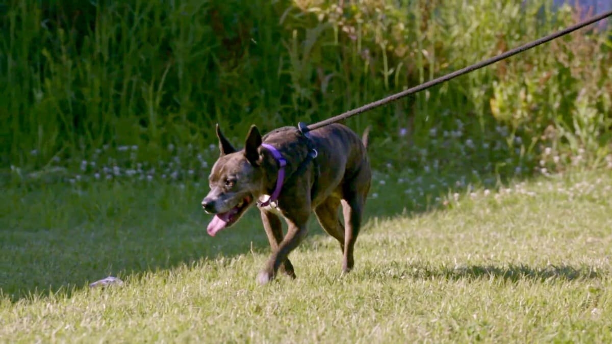 Playful, Loveable Pit Bull Coco Yields Zero Adoption Applications   Pit Bulls & Parolees: Waiting for a Forever Home