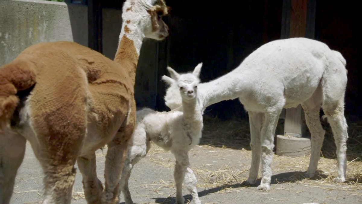A Baby Alpaca is Born | The Zoo: From the Inside