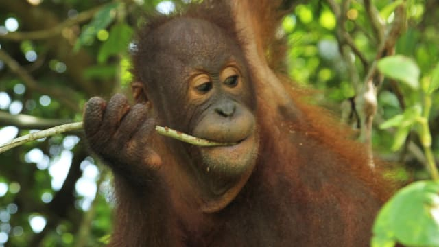 Meet the Orangutans on FREECABLE TV