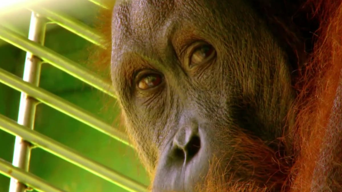 Relocating a Wild Male | Meet the Orangutans