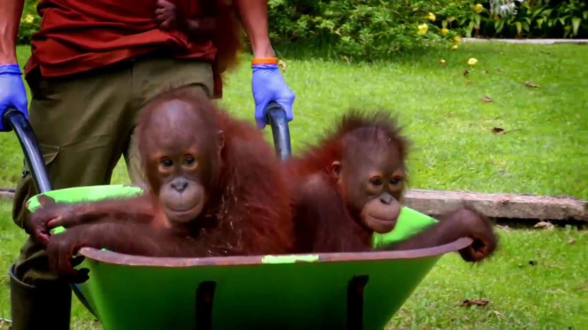 Dealing with Stubbornness and Illness | Meet the Orangutans