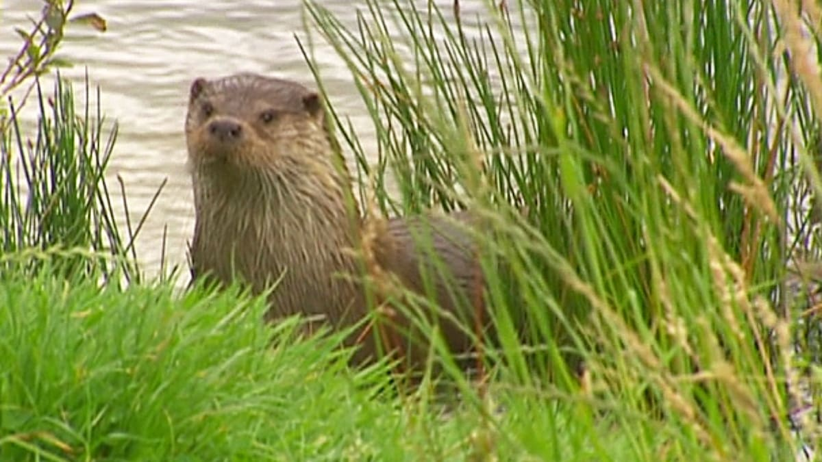 Otters | Britain's Wildest Places